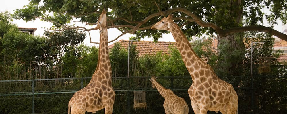 Three giraffes eating from trees in zoo exhibit