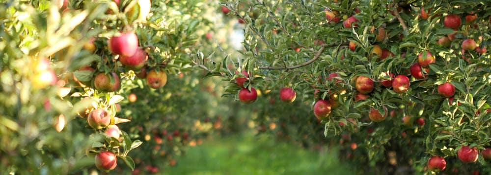 Apple Orchards near Penn Yan NY