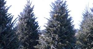 Cut Your Own Christmas Tree.3 Denver Farms Where You Can Cut Your Own Christmas Tree