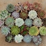 University Mitsubishi Succulents Green Gifts